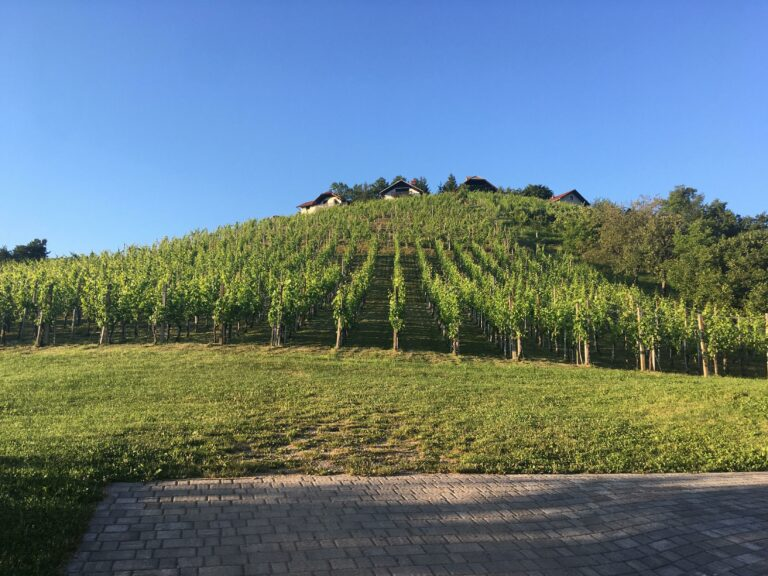 vinske trte